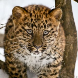 Amur leopard cub 3 months January, 2011 -- stalking in snow