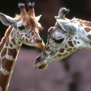 Female reticulated giraffe with calf