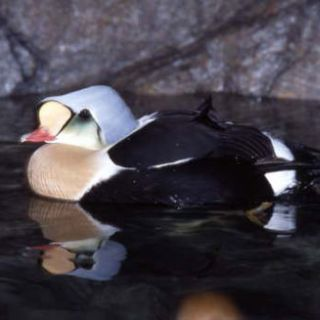 King eider male, breeding plumage
