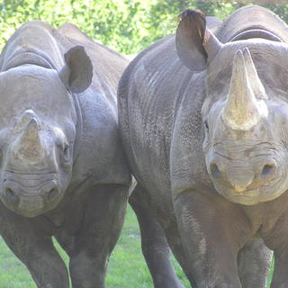 Rhino Couple