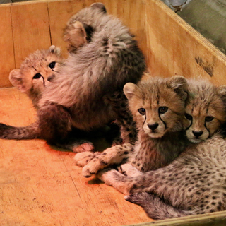 Cheetah cubs 12 weeks IMG 6360 Carolyn Kelly Saint Louis Zoo web
