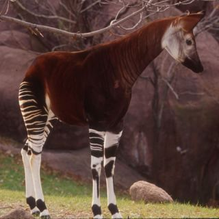A side view of an Okapi