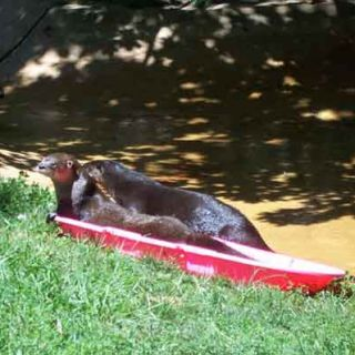 River otters with sled for enrichment