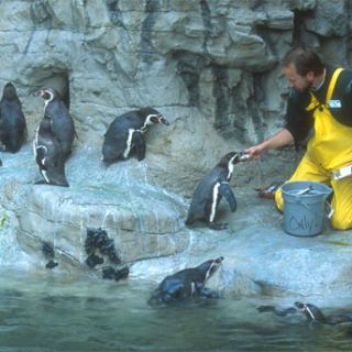 Keeper feeds penguins at Penguin & Puffin Coast