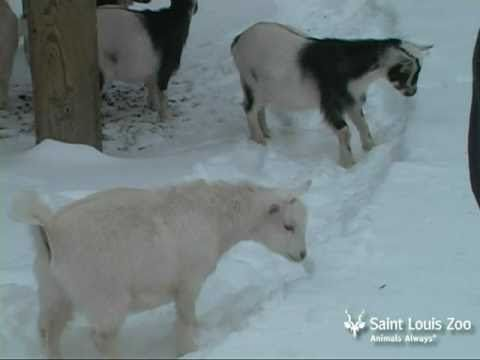 Goat kids experience snow