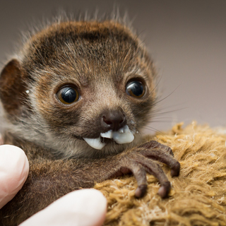 Mongoose lemur being fed at 2 weeks old