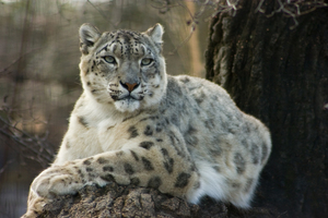 Snow leopard. Photo: Roger Brandt